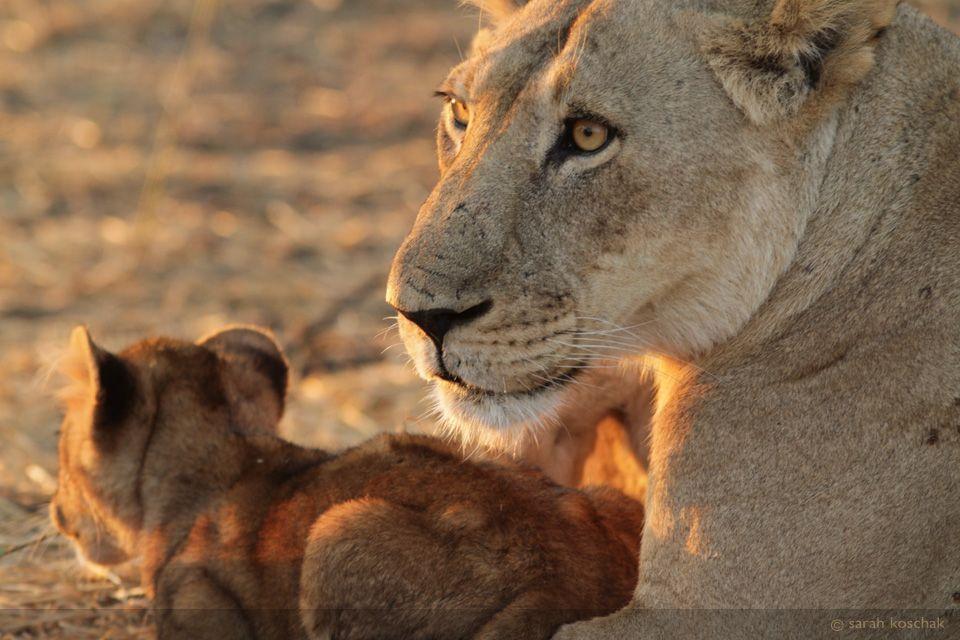 lionandcub.jpg