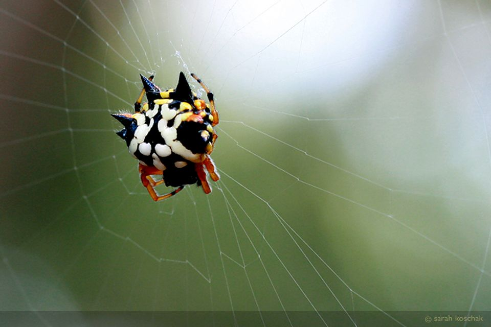 jewelspider.jpg