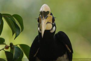 piedhornbill.jpg